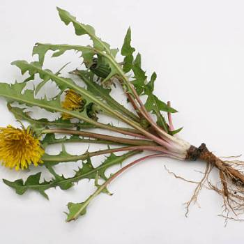 Dandelion Root - herbal support for healthy liver