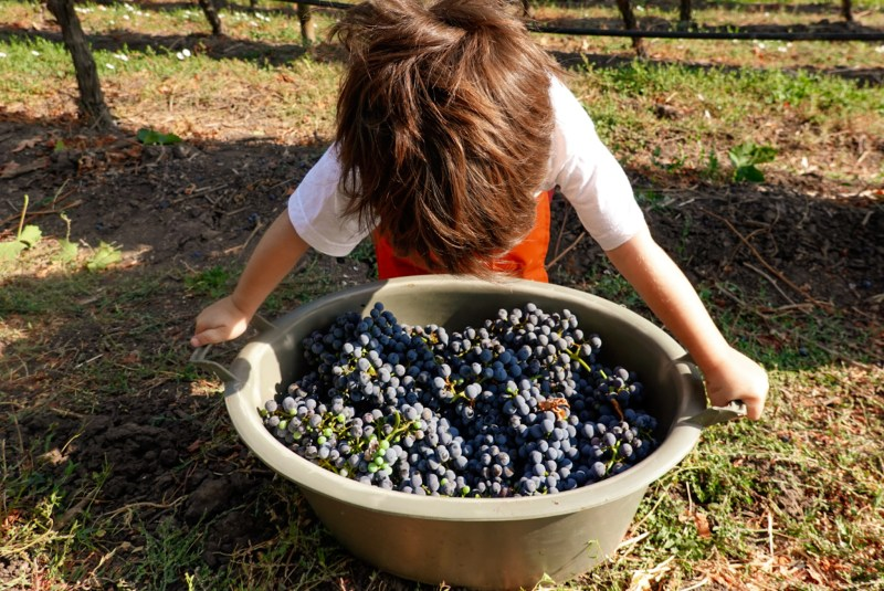 wine harvest in Santa Cruz
