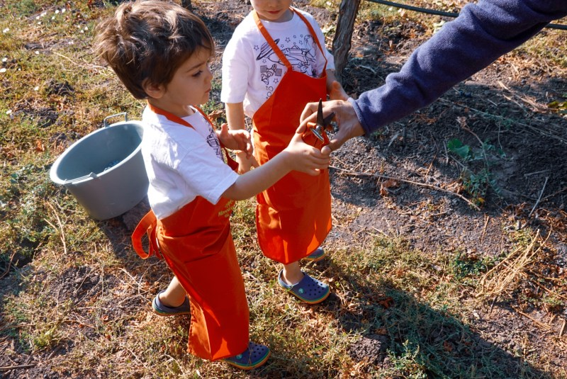 Grape Harvest in Chile with children