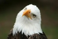 An American Bald Eagle at a bird sanctuary near Otavalo, Ecuador