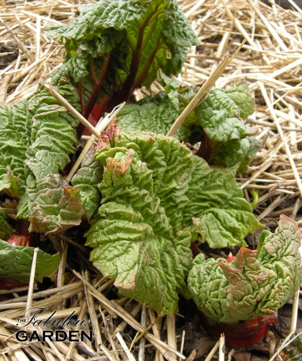 rhubarb plants emerging in spring