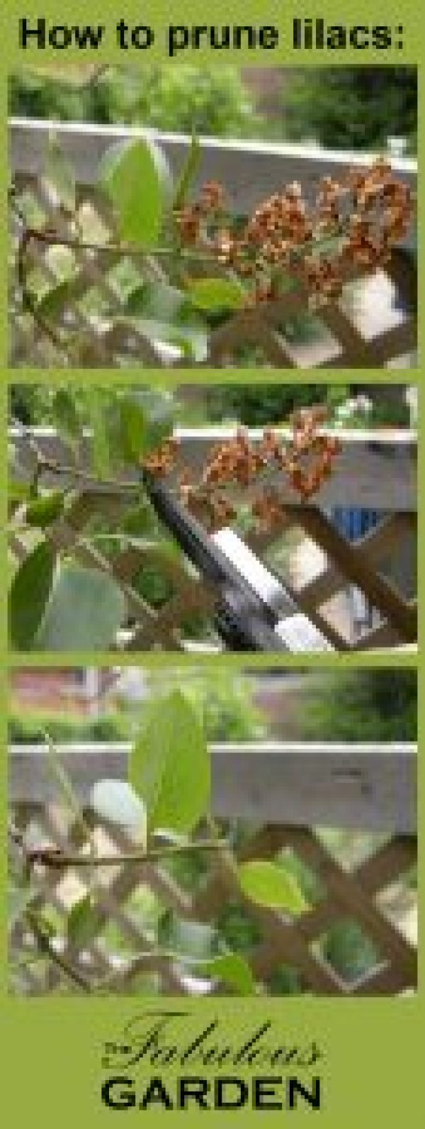 How to prune lilacs