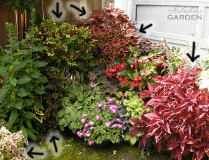 arrows point to multiple coleus plants