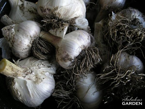 Heads of garlic from Jennifer's garden