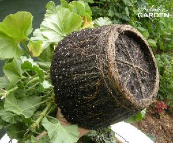 root ball of geranium showing indentation of roots