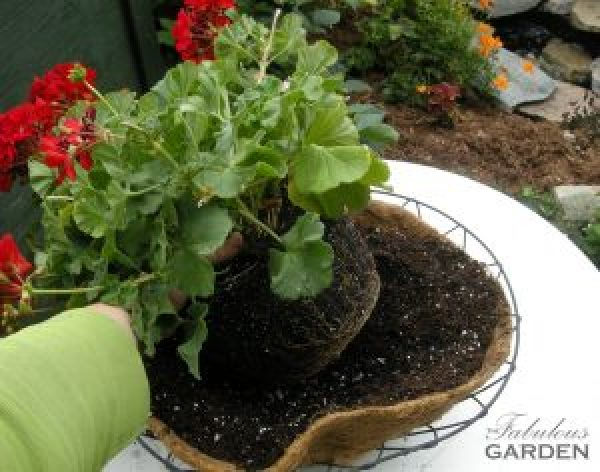 geranium being put into basket with soil in it