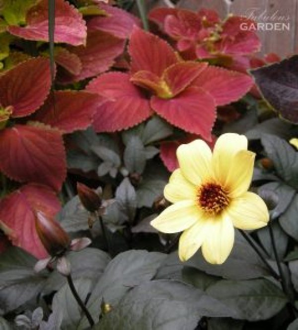 Lemony dahlia pops against its own dark foliage and neighbouring burgundy coleus