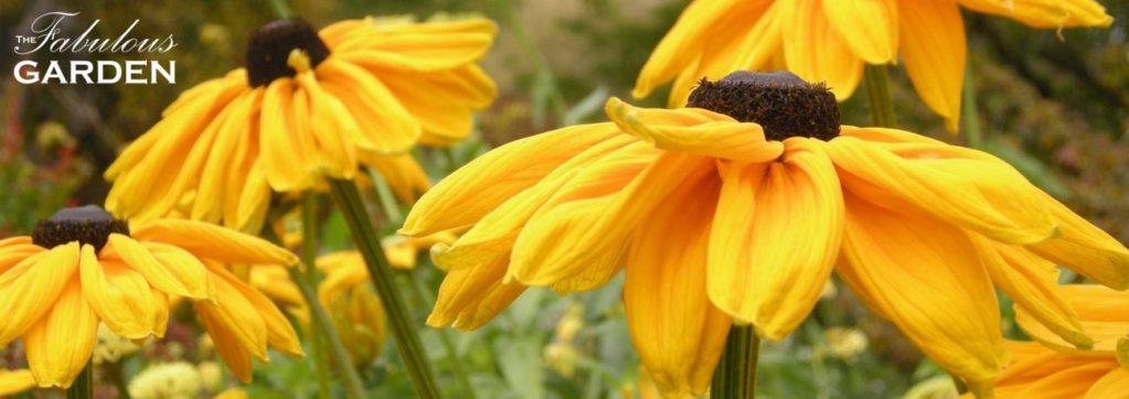 Black eyed susans at VanDusen Botanical Garden