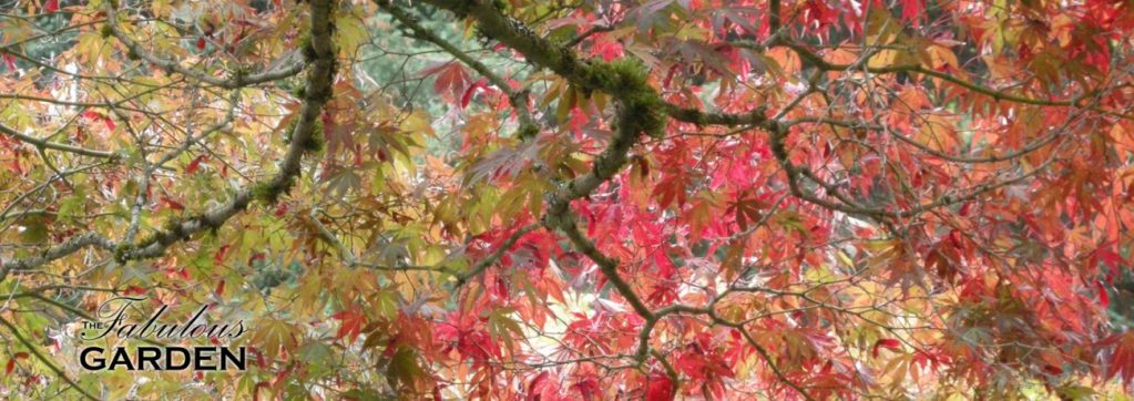 Japanese maples in fall colours at VanDusen Botanical Garden