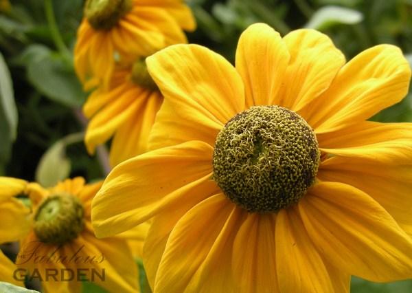 Close up of rudbeckia