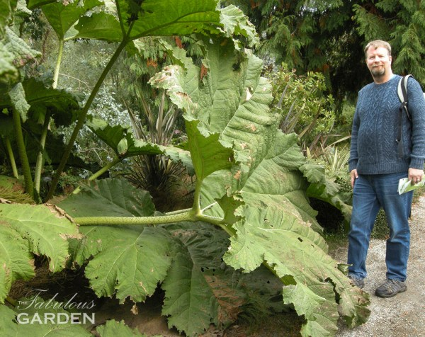 Giant rhubarb leaf stretches the full height of an adult male