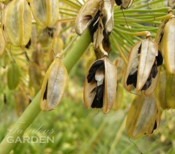 Moraea spathulata seed