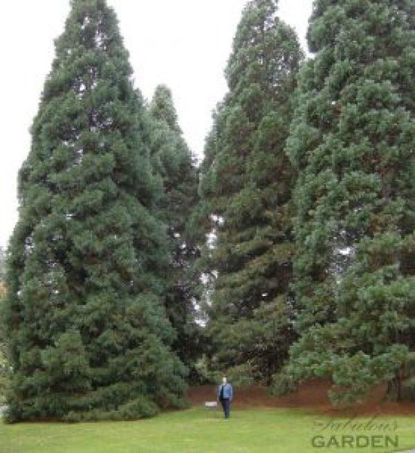 Person dwarfed by giant metasequoias