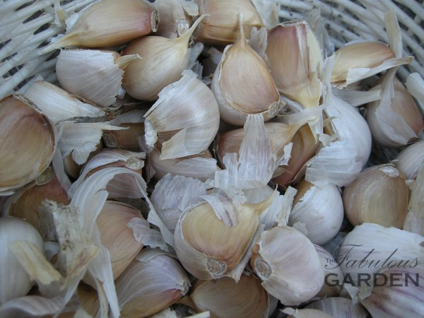 Garlic cloves, ready for planting