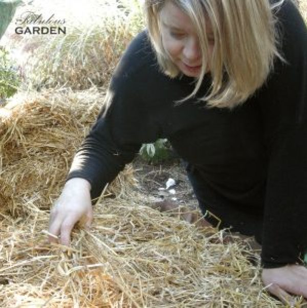 Covering the planted garlic with a mulch of straw