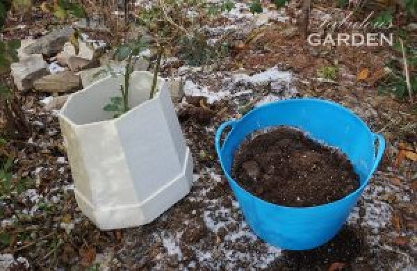 Rose bush in rose cone and trug full of soil