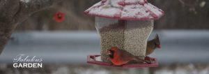 Cardinals love backyard bird feeders