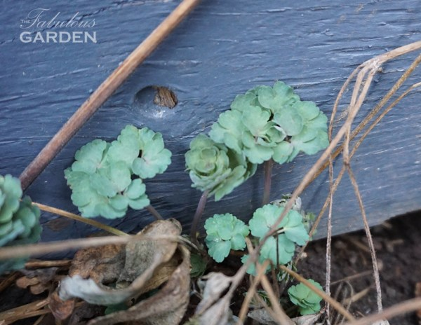 young columbine leaves emerging in spring