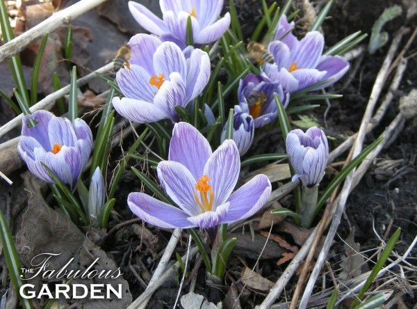 Crocus with bees