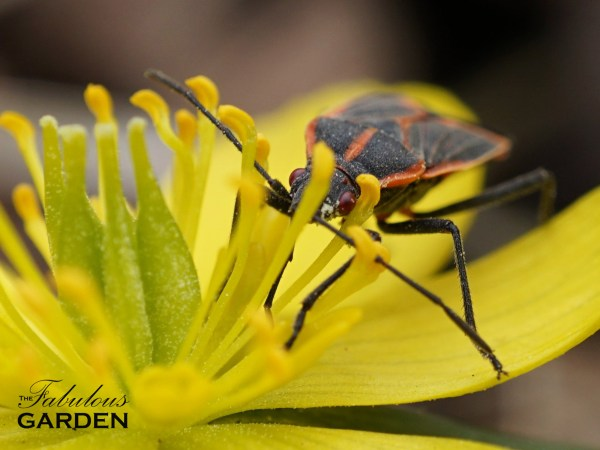 Boisea trivittatus eating pollen from winter aconite