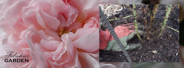 It's important to protect roses for winter, but also important to remove that winter protection at the right time