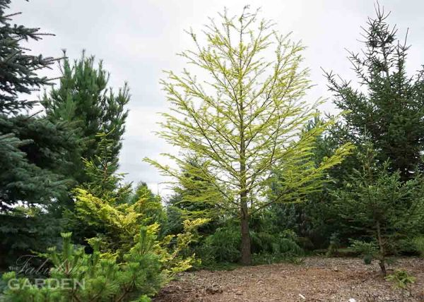 Pseudolarix amablis - Golden Larch at Whistling Gardens