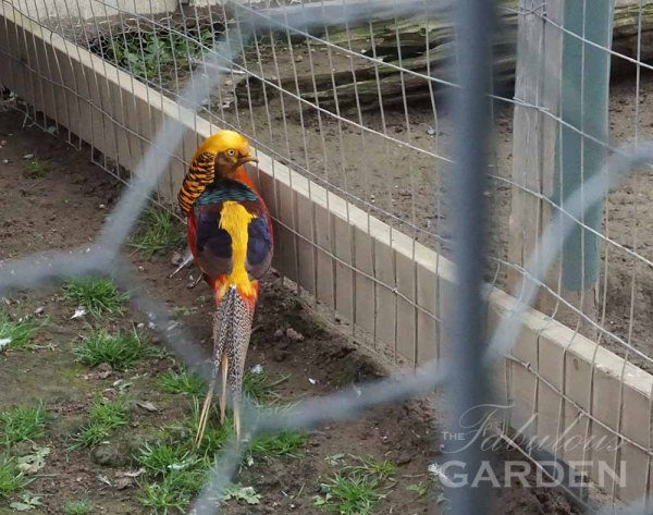 Golden Pheasant at Whistling Gardens Aviary