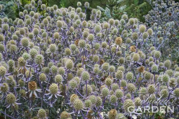 Globe thistle Echinops at Whistling Gardens