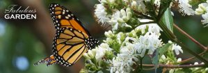 Monarchs and other pollinators love this tree!