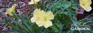 Plant profile: Night Blooming Primrose