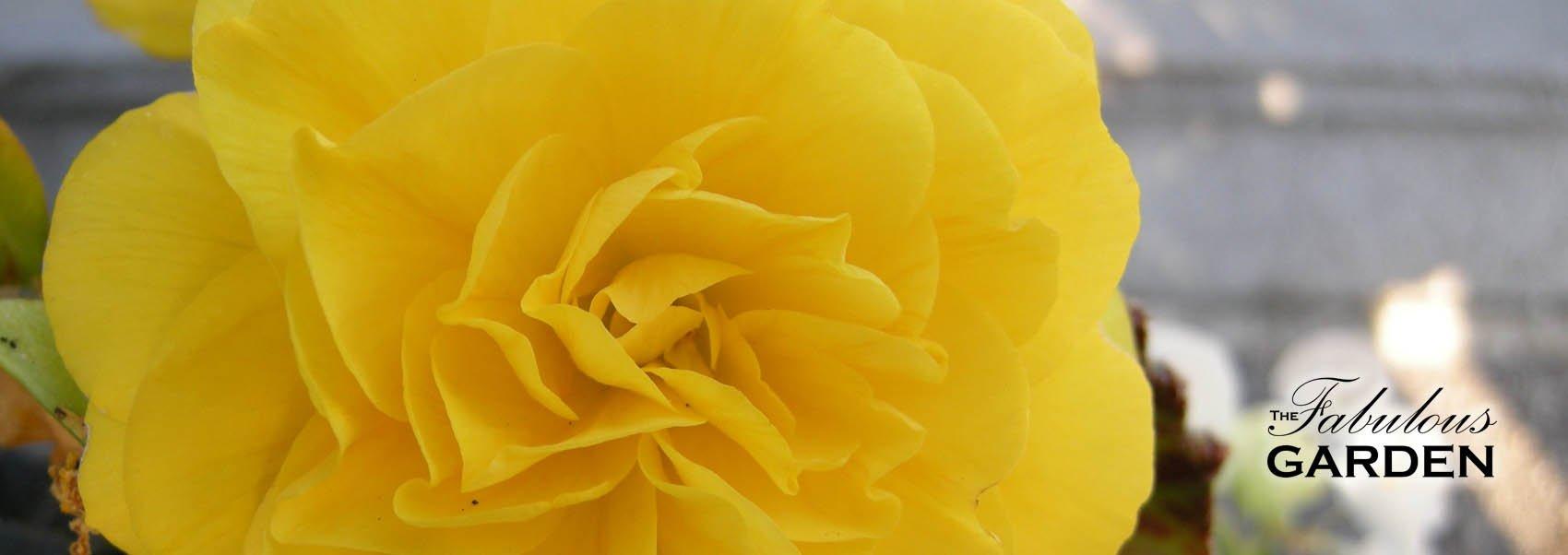 Plant profile: Tuberous Begonias