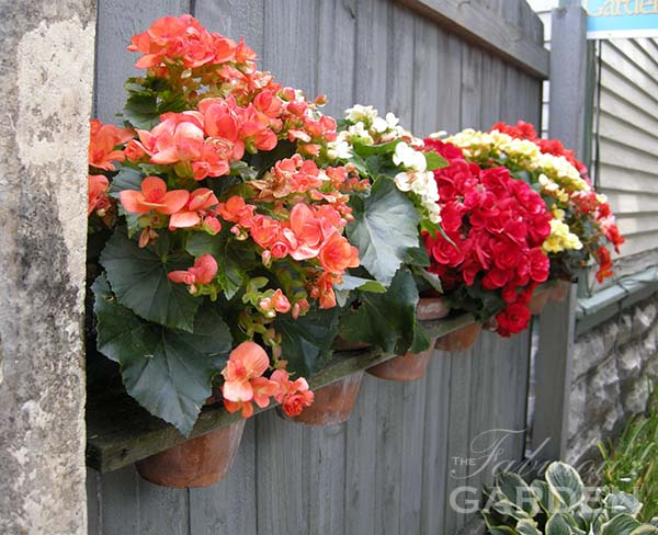 Growing begonias