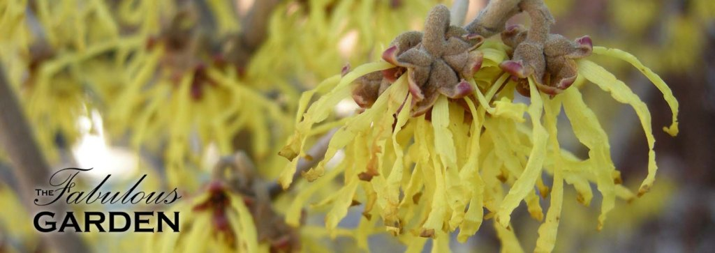 Witch Hazel is a great early blooming shrub for your garden