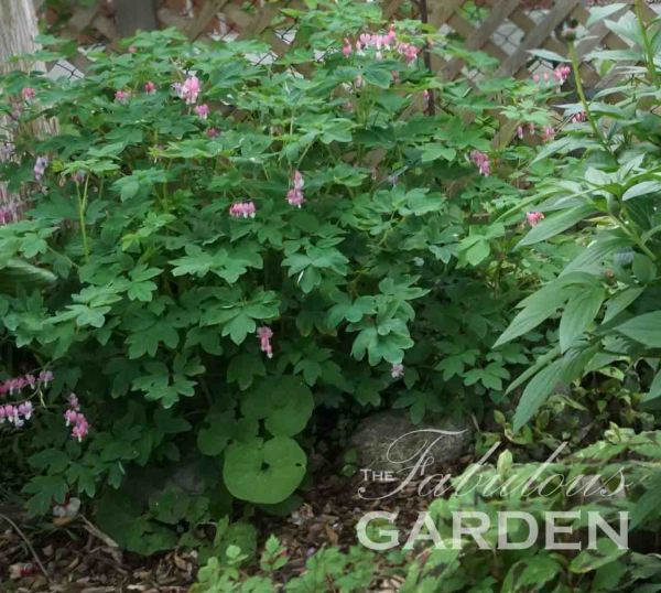 How to divide Bleeding Hearts and other perennial plants