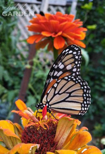 How to save seeds from zinnias--a great flower, loved by butterflies and bees