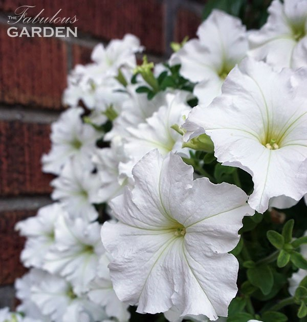 Petunias are a great annual flower for planters, baskets and gardens