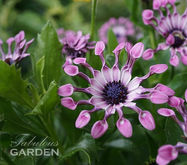 Osteospermum or African Daisy is a good full sun plant for containers