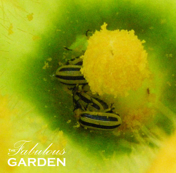 How to Grow Zucchini and Fight Off Striped Cucumber Beetles