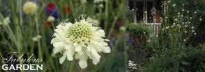 Plant profile: Giant Scabiosa (Cephalaria gigantea)
