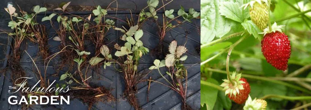 How to multiply your patch of Alpine Strawberries (Fragaria vesca)