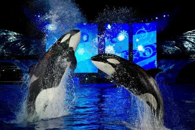 Killer whales at the Christmas show at Sea World Orlando, FL photo by Killergeek.com