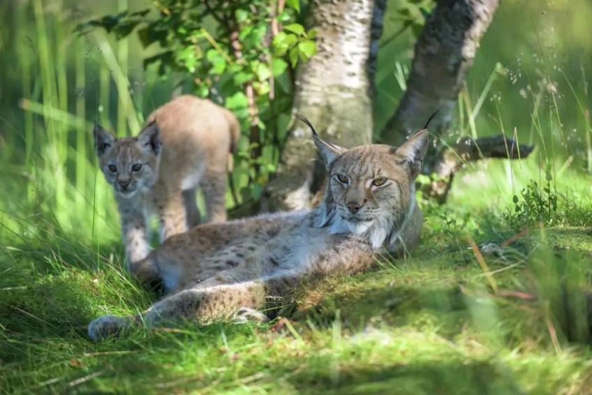 Lynx, baby lynx, Buskerud, Norway