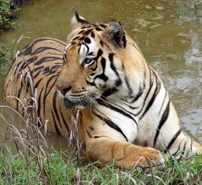 Tiger at Kanha National Park by Ashish Gautam Creative Commons License