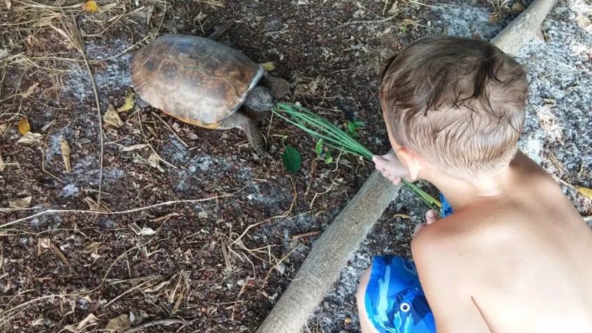 gopher turtle, the little fairytale traveler