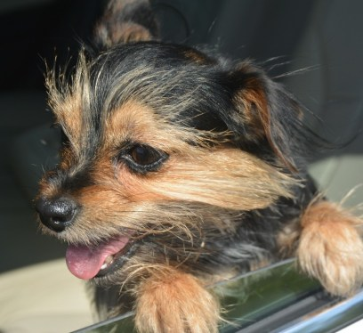 Happy Dog in the car, driving with a dog