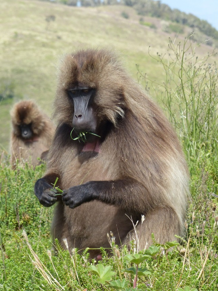 Baboon in Ethiopia