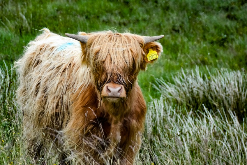 Highliand coo, Scottish cow