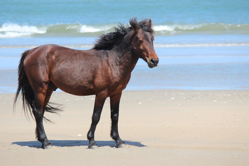 Corova Beach, Wild Horses, Corolla, North Carolina