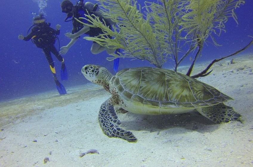 scuba diving, sea turtle