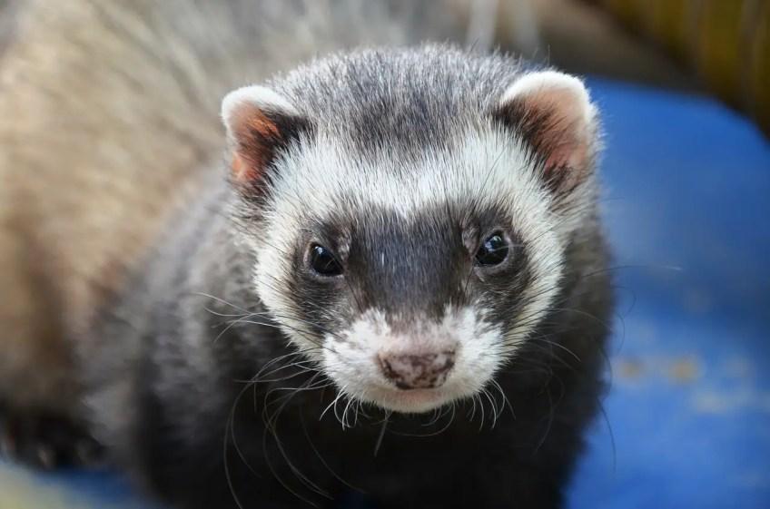 exotic pets, ferret